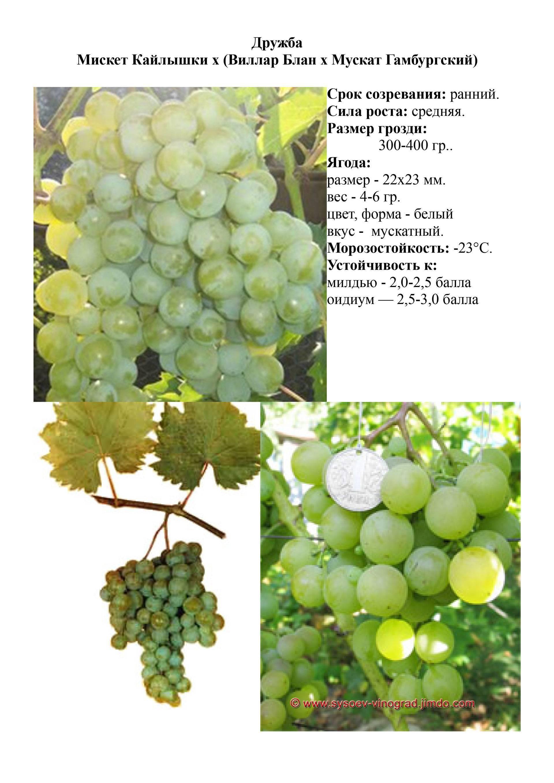 Виноград дружба