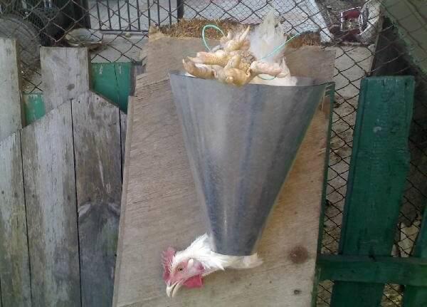 Учимся правильно ощипывать курицу