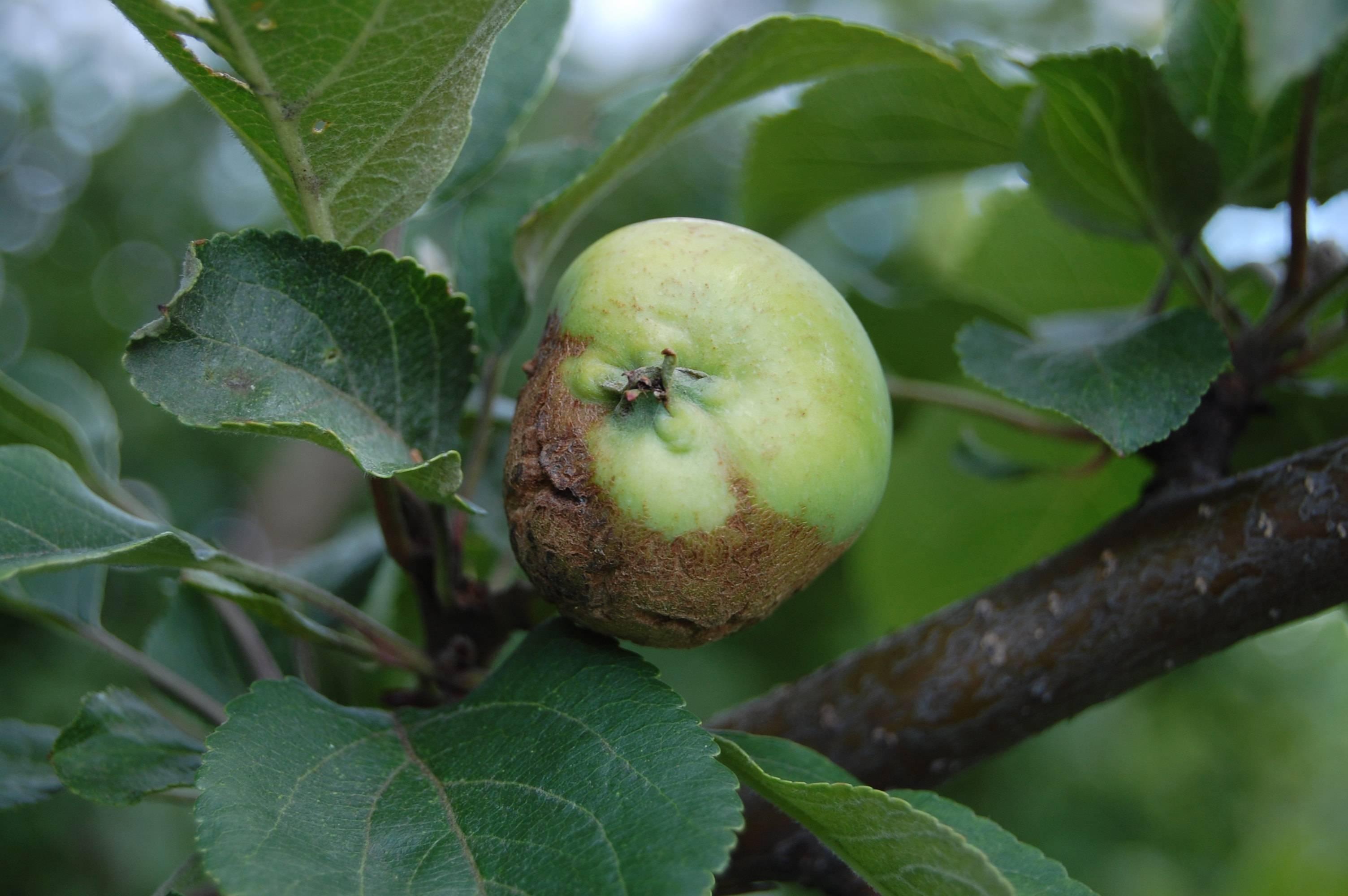 Болезни яблонь и борьба с ними фото