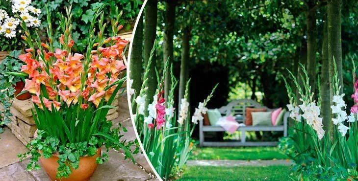 Гладиолусы: посадка и уход в открытом грунте весной