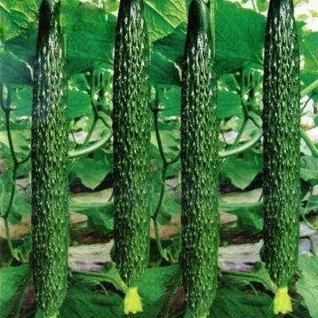 Об огурце Китайский Змей: описание и характеристики сорта, посадка и уход