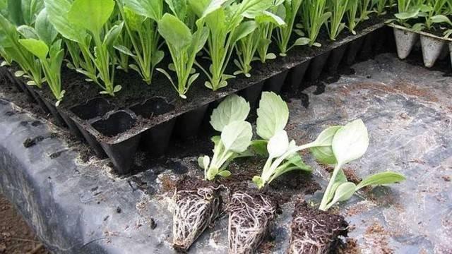 Причины, почему капуста плохо растет в открытом грунте