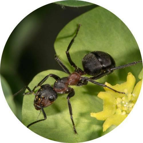 Муравейник на грядке: как избавиться от муравьев на клубнике
