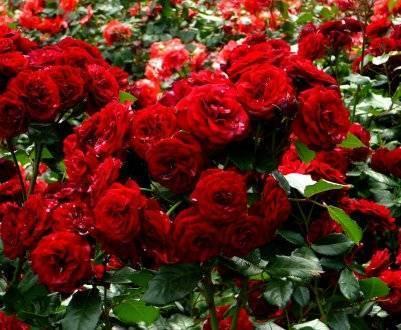Почему роза не цветёт: спасаем королеву сада
