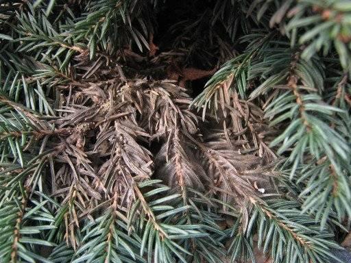Что делать, если можжевельник пожелтел после зимы: лечение болезней растения