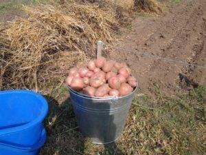 Китайский способ выращивания картофеля