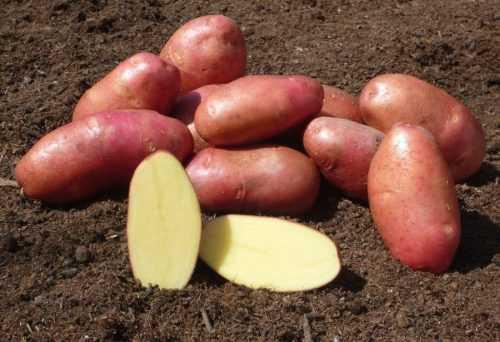 Среднеранний картофель «леди клэр» (леди клер), описание сорта, характеристика и фото