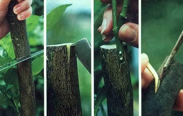Как вырастить сливу из корневой поросли