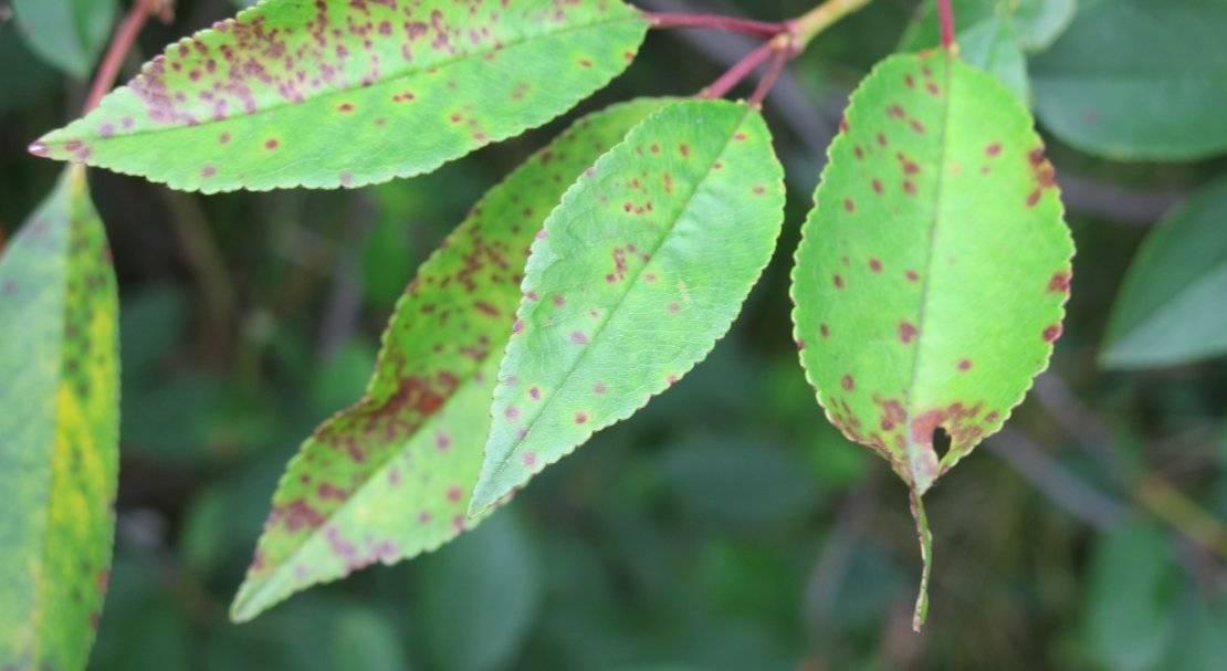 Коккомикоз вишни: особенности лечения и меры борьбы, устойчивые сорта, фото