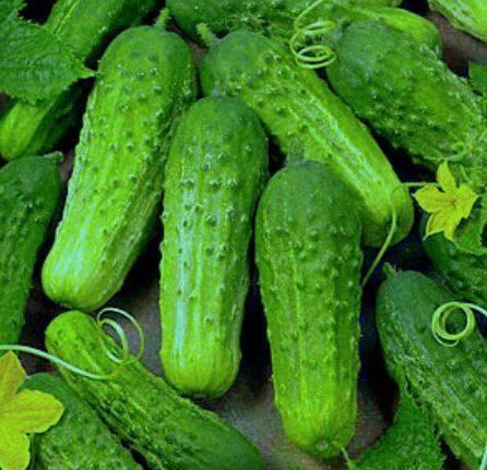 Огурцы короткоплодные: описание 12 лучших сортов, выращивание и формирование, отзывы