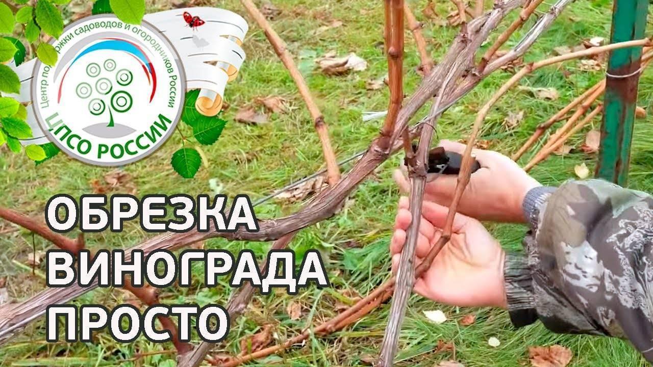 Обрезка винограда весной, летом и осенью для начинающих - схема, фото и видео