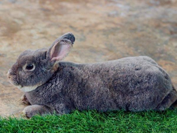 Продуктивная характеристика породы кроликов серый великан