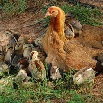 Лечение кокцидиоза у цыплят и молодняка птиц