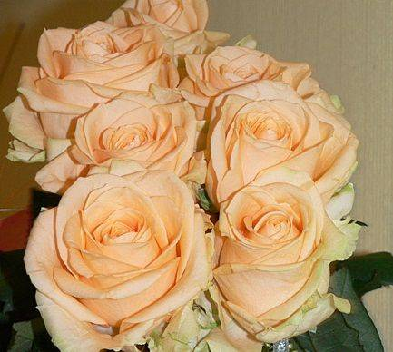 Роза аваланж (avalanche): описание и разновидности с фото, применение цветка, отзывы   правила посадки и выращивания
