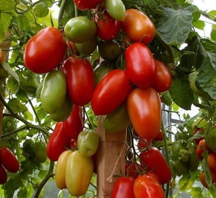 """Томат """"сосулька красная"""": описание и характеристики сорта красивых помидор"""