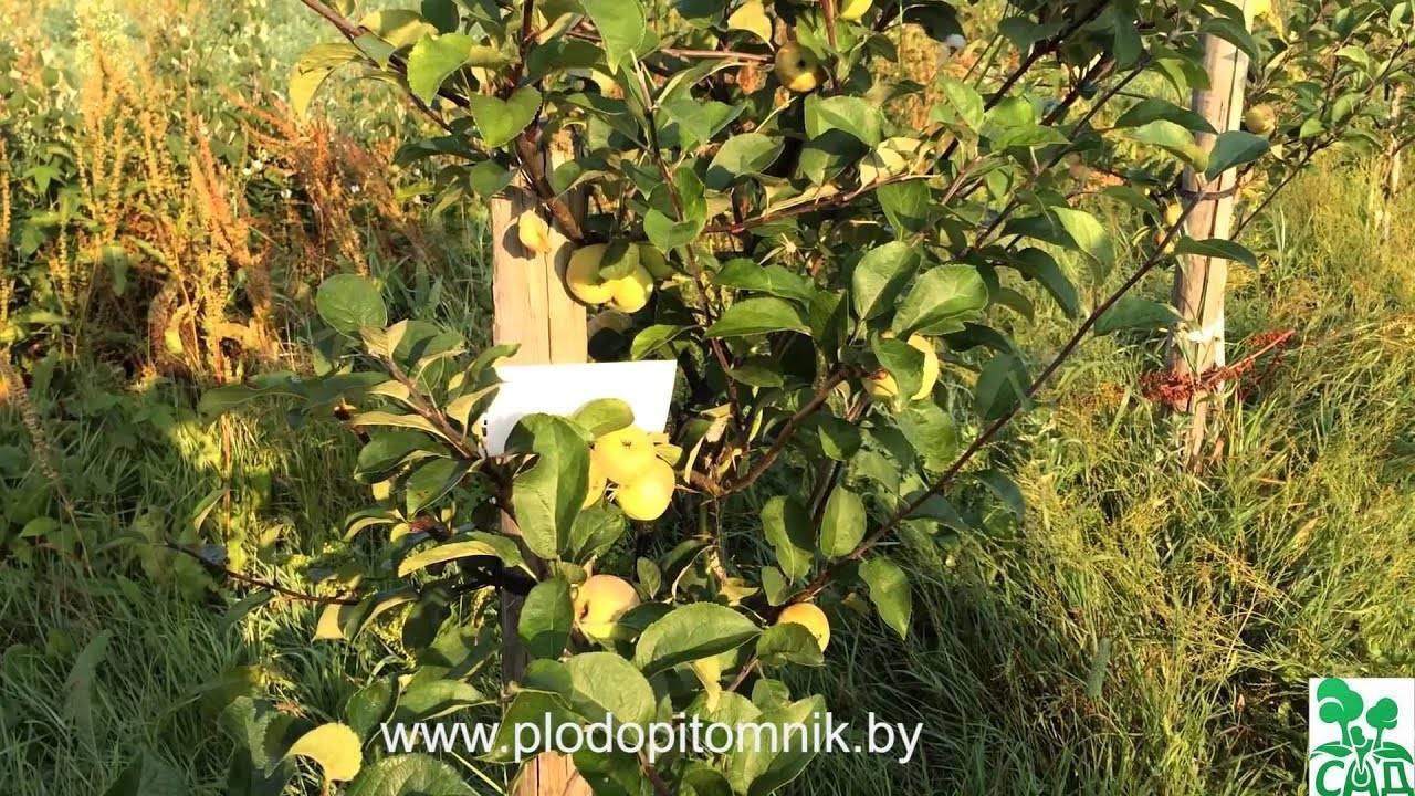 Сорт яблони мечта: ботаническое описание и характеристика сорта