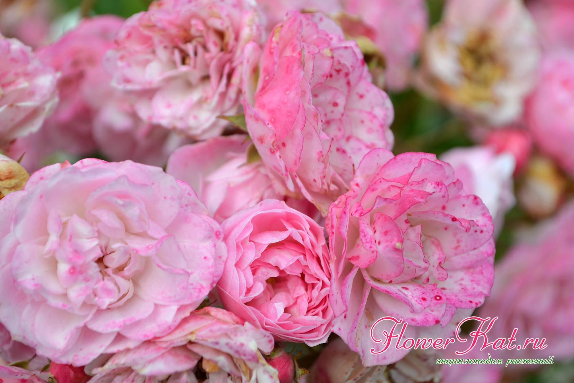 Гибрид с пряным ароматом или просто мускусная роза — что это такое, а также описание сортов