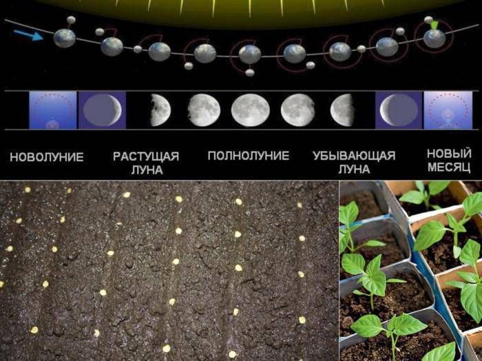 Сроки посадки огурцов на рассаду в 2020 по лунному календарю