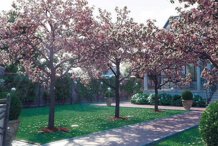 Как заставить цвести и плодоносить яблоню?
