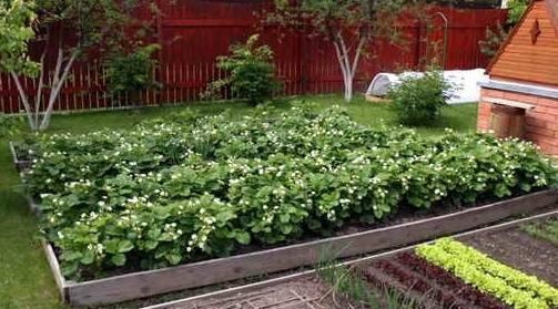 Когда пересаживать клубнику осенью, весной и летом, особенности проведения процедуры