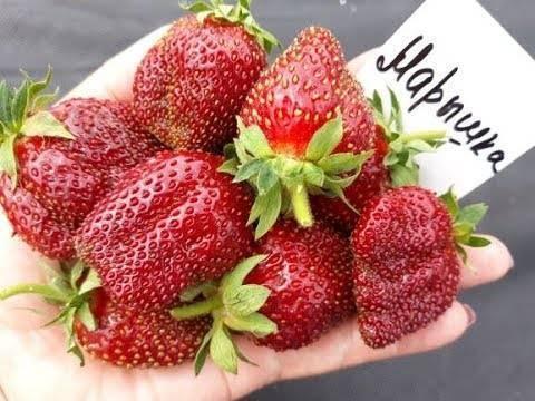 Клубника «флоренс» — описание сорта, агротехника выращивания, ухода и посадки ягоды в открытом грунте (фото)