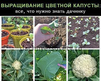 Как вырастить цветную капусту на огороде