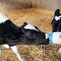 Кормление телят: как кормить теленка в домашних условиях? сколько давать молока новорожденному? кормушки для выпойки телят