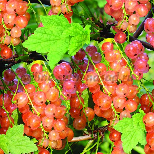 Особенности сорта смородины голландская розовая