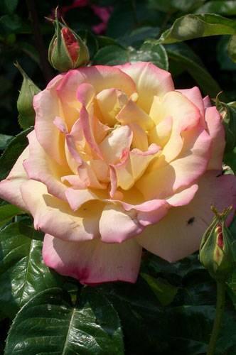 Роза глория дей: описание сорта и фото