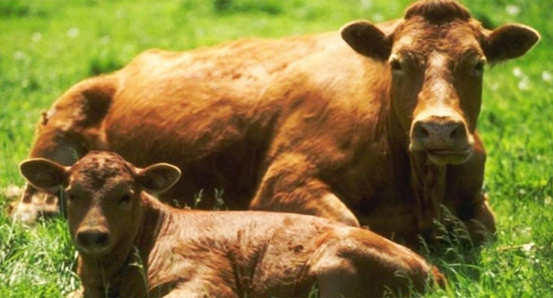 Роды и родовспоможение у коров (советы опытных ветеринаров и животноводов)