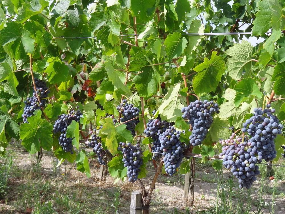 Вкусные и неприхотливые сорта винограда