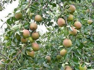Выращиваем грушу лесная красавица на даче: советы начинающим садоводам