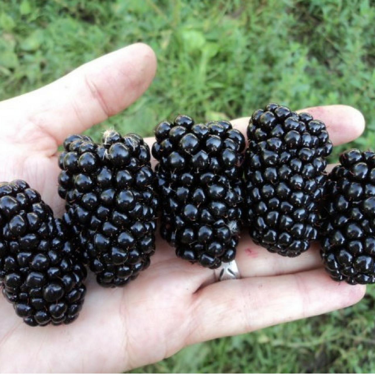 Cадовая ежевика - полезные советы по выращиванию ягоды на участке