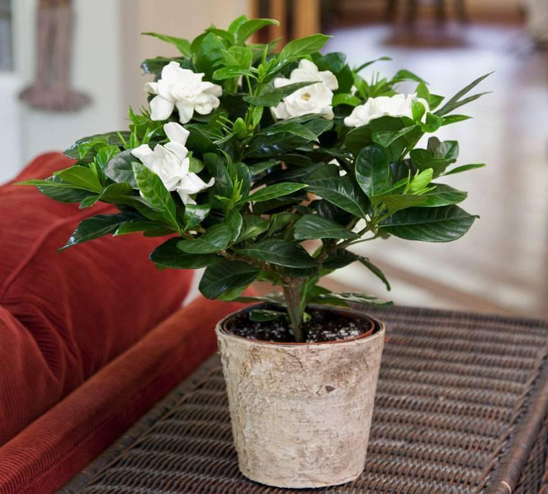 Гардения жасминовидная — белое великолепие цветов среди темно-зеленой листвы