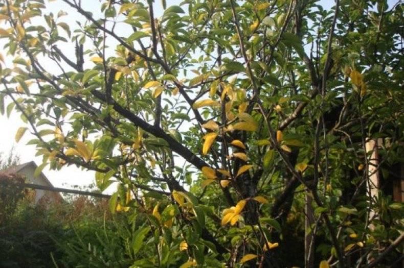 Монилиоз: почему сохнет вишня