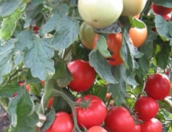 Сорт томатов «богата хата f1»: отзывы, описание, характеристика, урожайность, фото и видео