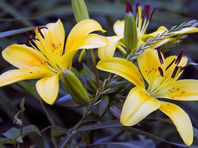 Лучший совет, как сажать лилии осенью в открытый грунт - пошаговая инструкция фото