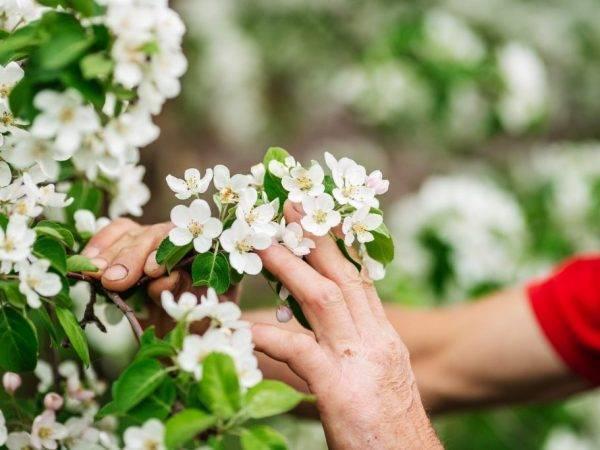 Правильный уход за молодой яблоней. календарь мероприятий