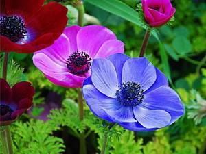 о цветке ветреница: описание, ядовитая или нет, выращивание в открытом грунте