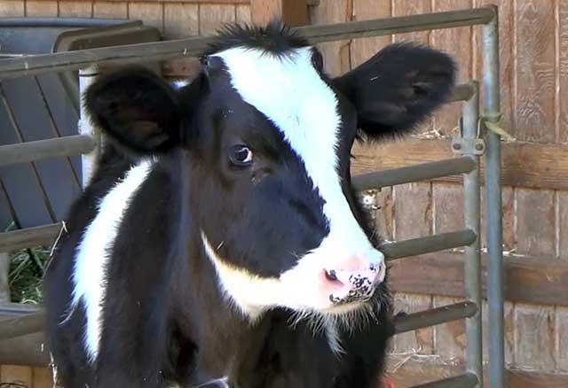 Абсцесс сустава у коровы