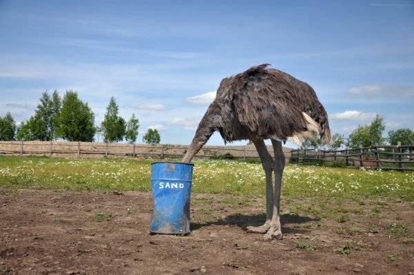 Зарывает ли страус голову в песок. почему страус прячет голову в песок? так ли это на самом деле?