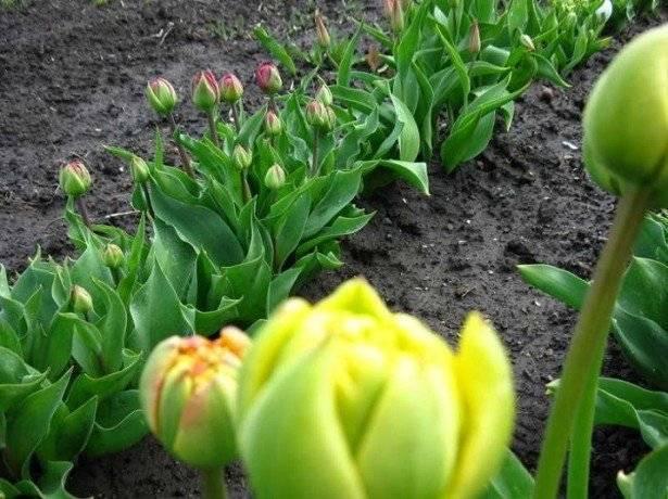 Когда выкапывать тюльпаны после цветения и как их хранить до посадки