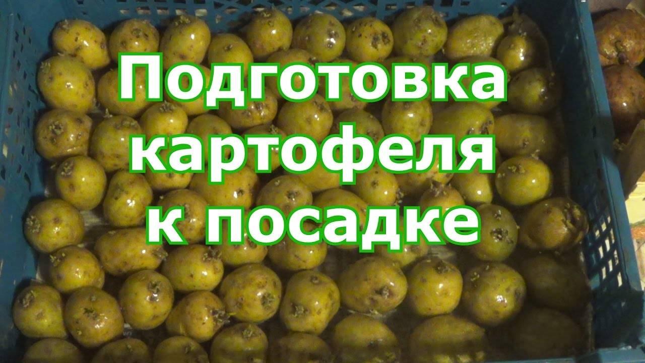 Как обработать картофель перед посадкой фитоспорином, инструкция