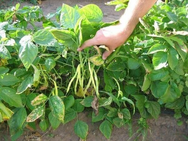 Когда сажают фасоль в открытый грунт — сроки заделки семян и на какую глубину