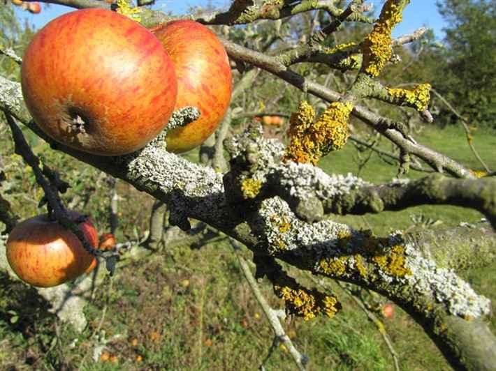 4 шага, как избавиться от лишайника на плодовых деревьях. пусть яблони будут здоровыми! | садовый участок
