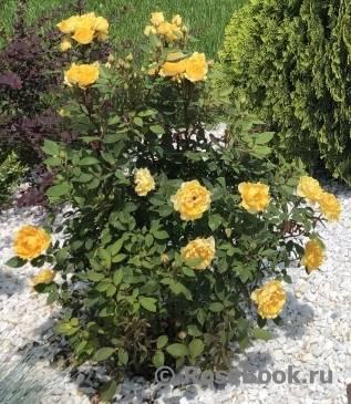 Роза розариум ютерсен