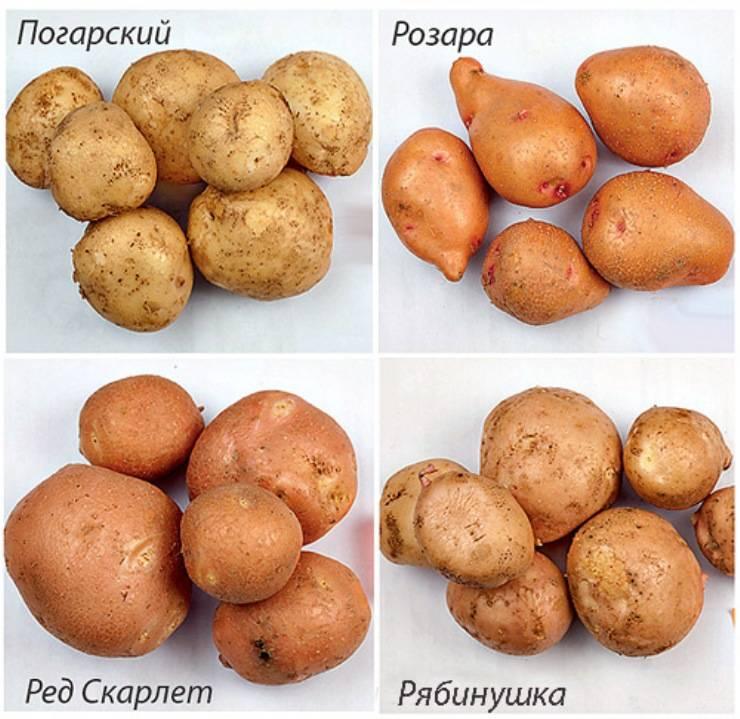 Сорт картофеля рябинушка характеристика отзывы