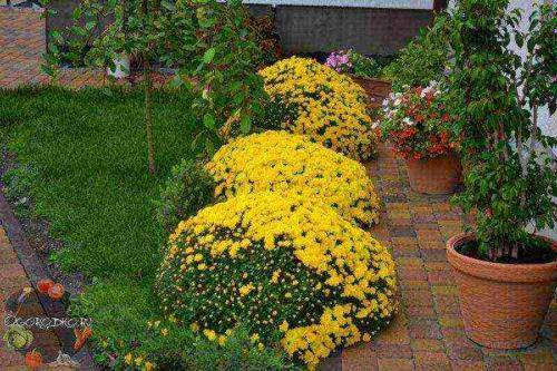 Садовые хризантемы: посадка и уход в открытом грунте