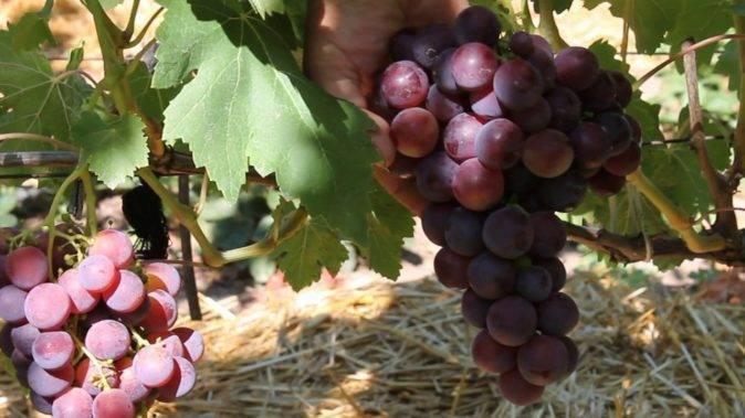 Как цветет виноград — признаки опыления, период цветения, фото и видео советы ухода за виноградом