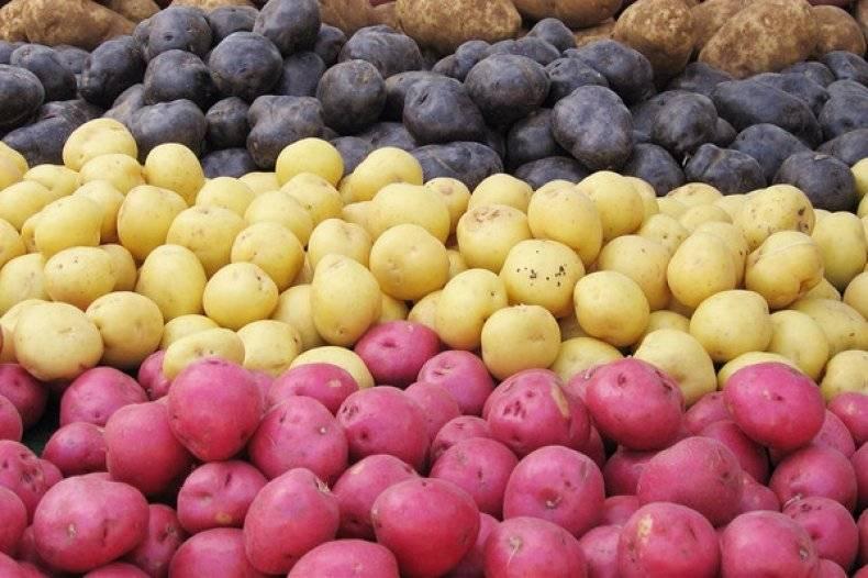 Какие сорта картофеля лучше сажать в подмосковье